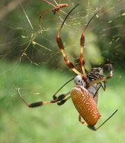 Golden silk spider - Nephila clavipes.jpg