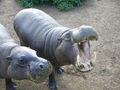 Pygmy hippopotamus hungry