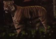 Singapore Zoo Night Safari Tiger