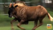 Six Flags Safari Wildebeest