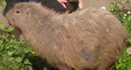 TSLOTZ Capybara