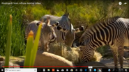 Animal Atlas Grevy's Zebras