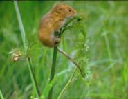 BENO Eurasian Harvest Mouse