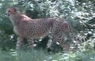 Birmingham Zoo Cheetah