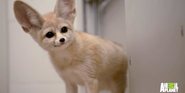 Bronyx Zoo TV Series Fennec Fox