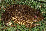 East Asian Bullfrog