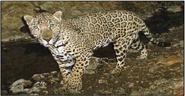 Jaguar, Arizona