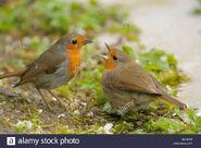 Male and Female European Robins