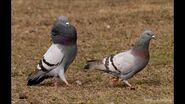 Male and Female Rock Doves