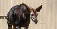 Memphis Zoo Okapi