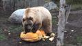 Minnesota Zoo Grizzly Bear