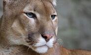 Mountain-lion-wikipedia