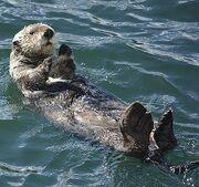 Otter, Sea.jpg