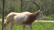 Rolling Hills Zoo Oryx