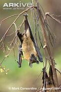 Straw-coloured-fruit-bat-with-light-coloured-stomach-fur-showing