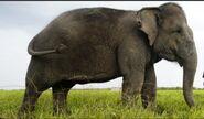 Sumatran Elephant Cow