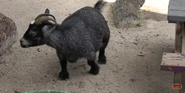 Tampa Lowry Park Zoo Goat