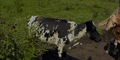 Wilstem Ranch Cow
