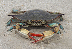 Atlantic Blue Crab.jpg