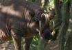 Babirusa-planet-zoo