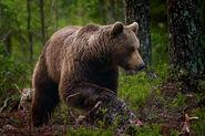 Brown Bear, Eurasian