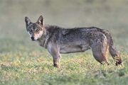 Canis lupus pallipes.jpg
