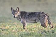 Canis lupus pallipes