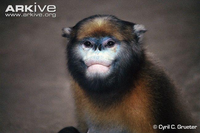 Grey Snub-Nosed Monkey