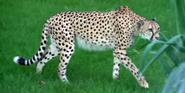 Cincinnati Zoo Cheetah