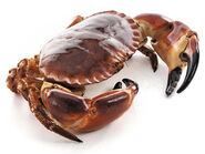Edible Crab