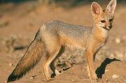 Fox, Cape.jpg