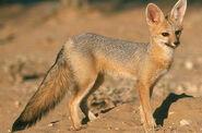 Fox, Cape