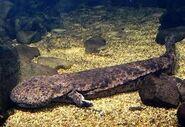 Giant japanese salamander