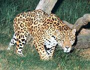 Goldman's Jaguar (V2).jpg