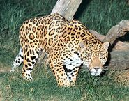 Goldman's Jaguar (V2)