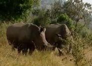 HugoSafari - Rhinoceros03