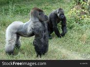 Lowland Gorilla Silverback and Blackback