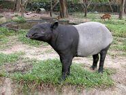 Malayan Tapir (V2)