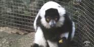 Pittsburgh Zoo Black and White Ruffed Lemur