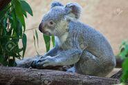 Queensland koala (Phascolarctos cinereus adustus)
