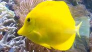 Seneca Park Zoo Yellow Tang