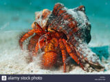 White-Spotted Hermit Crab