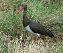 A Black Stork.jpg