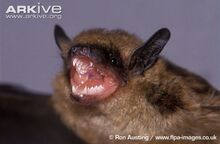 Big-brown-bat-close-up-with-mouth-open.jpg