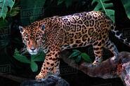 Central American Jaguar