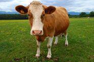 Domestic cattle (Bos taurus)