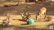 El Paso Zoo Pronghorns