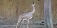 LA Zoo Guerenuk
