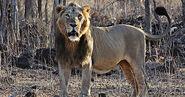 Lion, Indian