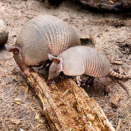 Male and Female Nine-Banded Armadillos